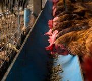 Agricoltura del pollo, pollo che mangia alimento Fotografia Stock