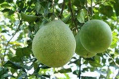 Agricoltura del pomelo Immagini Stock Libere da Diritti