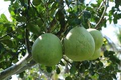 Agricoltura del pomelo Immagine Stock