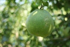 Agricoltura del pomelo Fotografia Stock