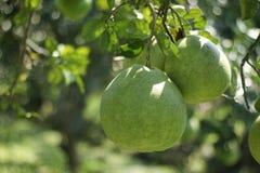 Agricoltura del pomelo Fotografia Stock Libera da Diritti