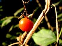 Agricoltura del pomodoro Immagine Stock Libera da Diritti