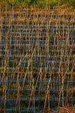 Agricoltura del pomodoro Fotografie Stock