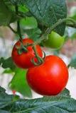 Agricoltura del pomodoro - serie 3 Fotografia Stock Libera da Diritti