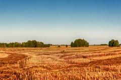 Agricoltura del raccolto del grano saraceno della paglia del campo Fotografia Stock