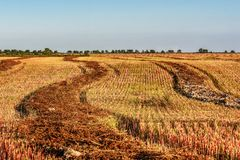 Agricoltura del raccolto del grano saraceno della paglia del campo Immagine Stock