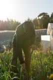 Agricoltura del raggiungimento ad un porro piantato in azienda agricola Fotografie Stock Libere da Diritti