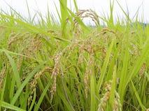 Agricoltura del riso Fotografie Stock Libere da Diritti