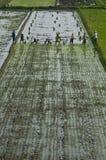 AGRICOLTURA DEL RISO DELL'ASIA Fotografia Stock Libera da Diritti