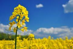 Agricoltura del seme oleifero Fotografia Stock