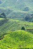 Agricoltura del tè Fotografie Stock Libere da Diritti