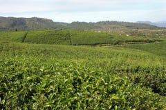 Agricoltura del tè Fotografia Stock