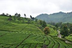 Agricoltura del tè verde di Lanscape e turismo locale di viaggio Immagini Stock Libere da Diritti