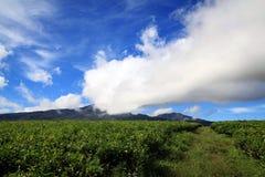 Agricoltura del tè verde di paesaggio Fotografia Stock Libera da Diritti
