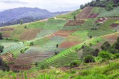 Agricoltura del terrazzo sulla montagna tropicale, Chiang Mai, Tailandia Fotografie Stock