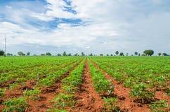 Agricoltura del terreno coltivabile della manioca Fotografia Stock