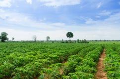 Agricoltura del terreno coltivabile della manioca Fotografia Stock Libera da Diritti