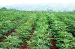 Agricoltura del terreno coltivabile della manioca in Tailandia Immagine Stock