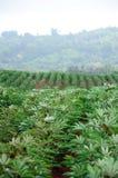 Agricoltura del terreno coltivabile della manioca in Tailandia Immagini Stock Libere da Diritti