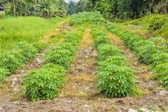 Agricoltura del terreno coltivabile della tapioca Fotografia Stock Libera da Diritti