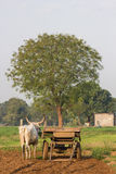 Agricoltura del toro Fotografie Stock