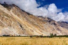 Agricoltura del villaggio di Drass, Kargil, Ladakh, il Jammu e Kashmir, India Fotografie Stock Libere da Diritti