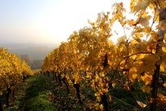 Agricoltura del vino in Reno-Hesse Immagine Stock