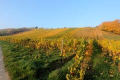 Agricoltura del vino in Reno-Hesse Fotografia Stock