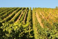 Agricoltura del vino in Reno-Hesse Fotografia Stock Libera da Diritti