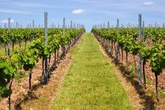 Agricoltura del vino in Reno-Hesse nella primavera, Germania Fotografia Stock Libera da Diritti