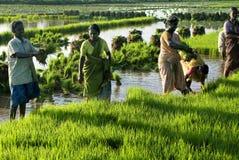 Agricoltura dell'alberello della risaia Fotografia Stock