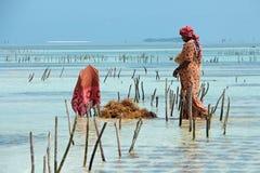 Agricoltura dell'alga - Zanzibar Fotografie Stock