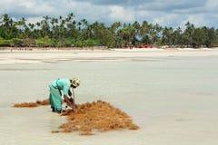 Agricoltura dell'alga - Zanzibar Immagini Stock Libere da Diritti