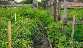 Agricoltura dell'alimento biologico Serra del giardino con le piante di pomodori Immagini Stock Libere da Diritti
