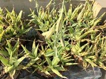 Agricoltura dell'aloe Fotografia Stock