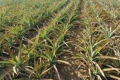 Agricoltura dell'ananas Fotografia Stock Libera da Diritti