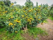 Agricoltura dell'arancia del mandarino Immagine Stock Libera da Diritti