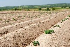 Agricoltura dell'asparago Fotografia Stock