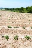 Agricoltura dell'asparago Immagine Stock