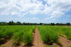 Agricoltura dell'asparago Immagini Stock Libere da Diritti