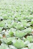 Agricoltura dell'azienda agricola del cavolo Fotografia Stock