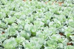 Agricoltura dell'azienda agricola del cavolo Immagine Stock