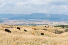 Agricoltura dell'azienda agricola della mucca Immagine Stock Libera da Diritti