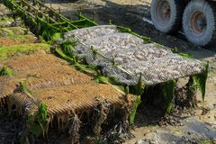Agricoltura dell'ostrica Immagini Stock