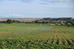 Agricoltura della barbabietola Immagine Stock