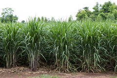 Agricoltura della canna da zucchero del fondo Immagini Stock