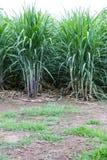 Agricoltura della canna da zucchero del fondo Fotografia Stock Libera da Diritti