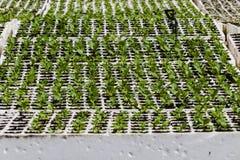 Agricoltura della coltura idroponica dei semenzali Fotografie Stock