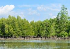 Agricoltura della foresta e dell'ostrica della mangrovia Fotografia Stock
