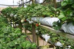 Agricoltura della fragola Immagine Stock Libera da Diritti